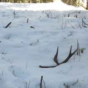 elk antler in snow
