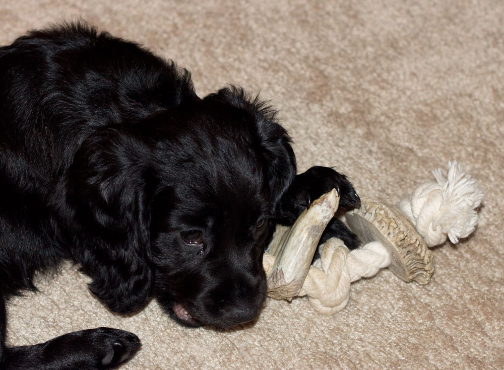 Puppy with Antler Creek Antler Rope Chew